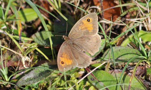 201024 meadow brown 201001