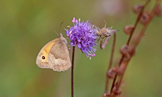 201024 meadow brown 201005