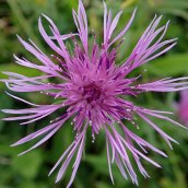 201025 common knapweed