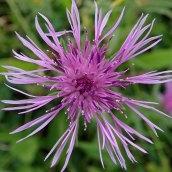 201025 common knapweed