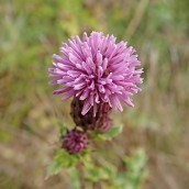 201025 creeping thistle