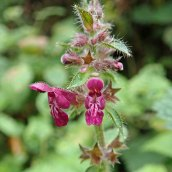 201025 hedge woundwort