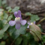 201025 ivy-leaved toadflax