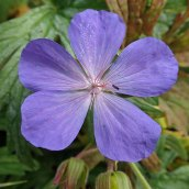 201025 meadow crane's-bill