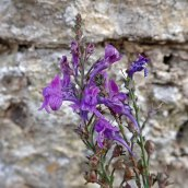 201025 purple toadflax