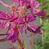 201025 rosebay willowherb