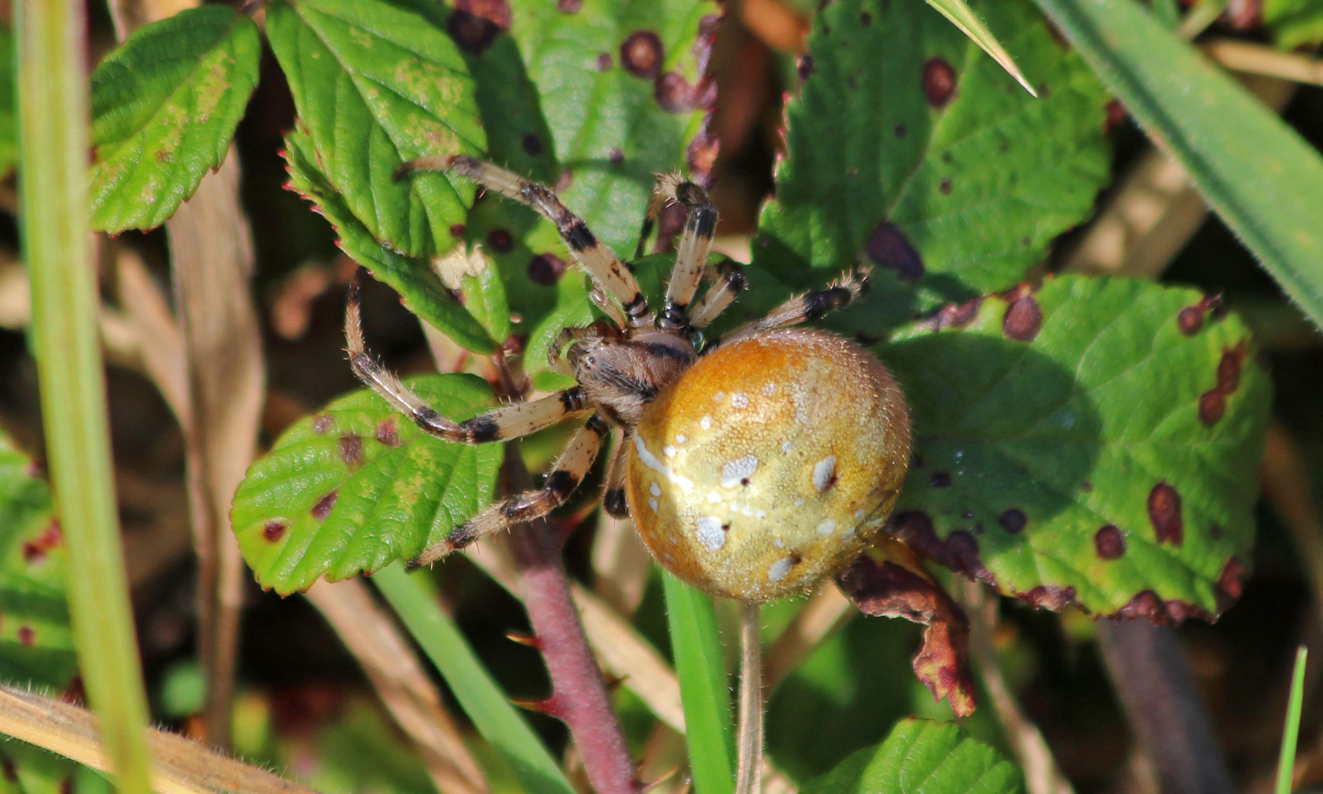 201026 four-spotted orb weaver (2)