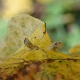 201028 Aceria macrochela (3)
