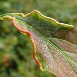 201028 Stenacis euonymi (3)