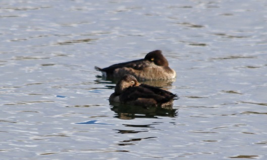 201029 ring-necked ducks (2)