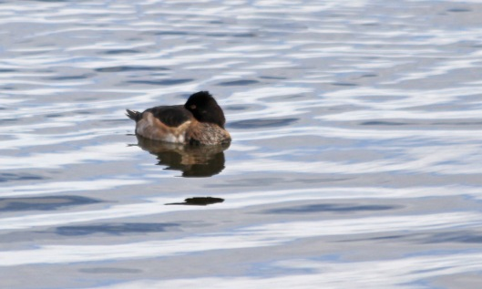 201029 ring-necked ducks (4)