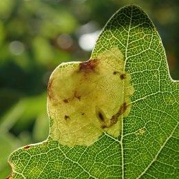 201102 Tischeria ekebladella (5)