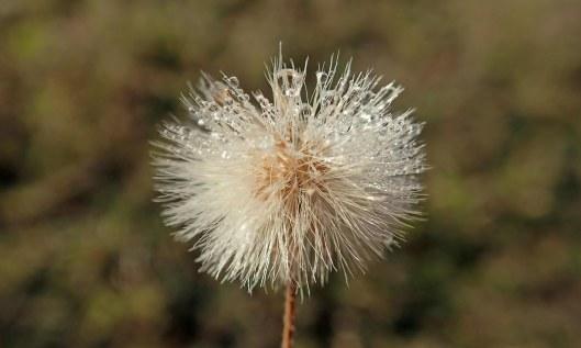 201104 seedhead (3)