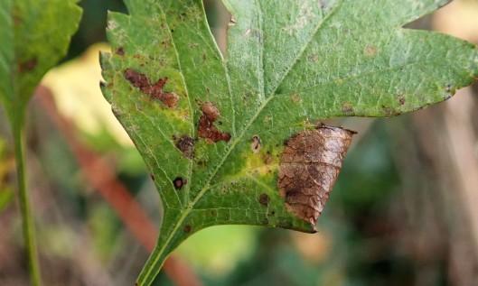 201109 parornix anglicella cones (1)
