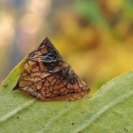 201109 parornix anglicella cones (2)