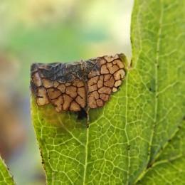 201109 parornix anglicella cones (3)