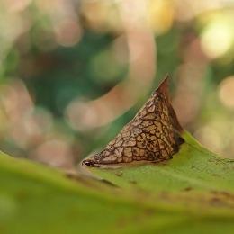 201109 parornix anglicella cones (5)