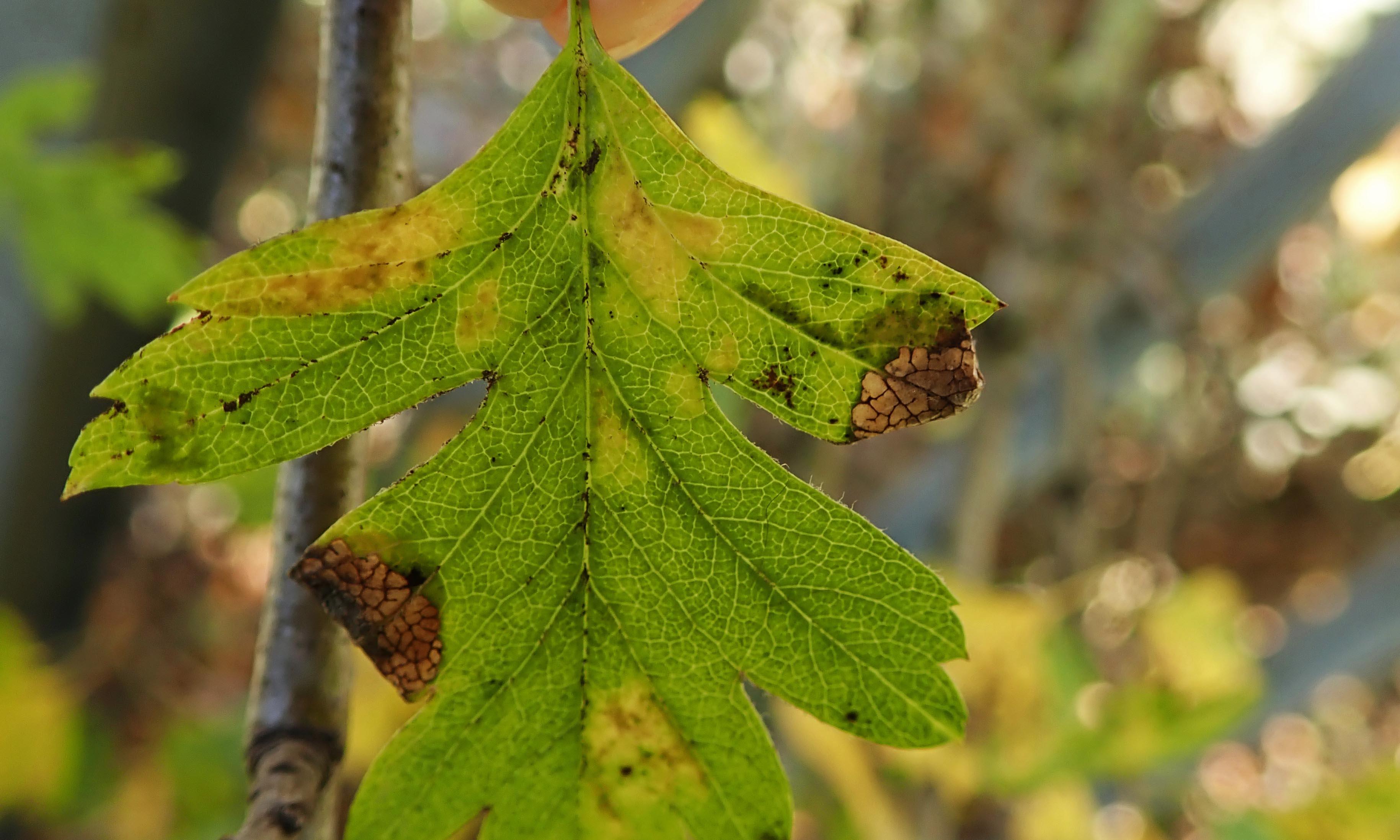 201109 parornix anglicella cones (6)