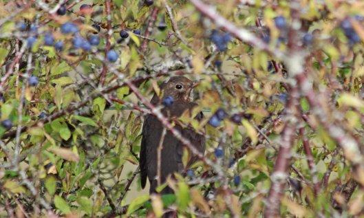 201110 blackbird
