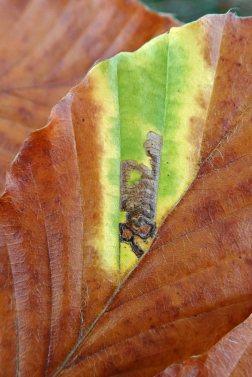 201111 green island stigmella tityrella (1)