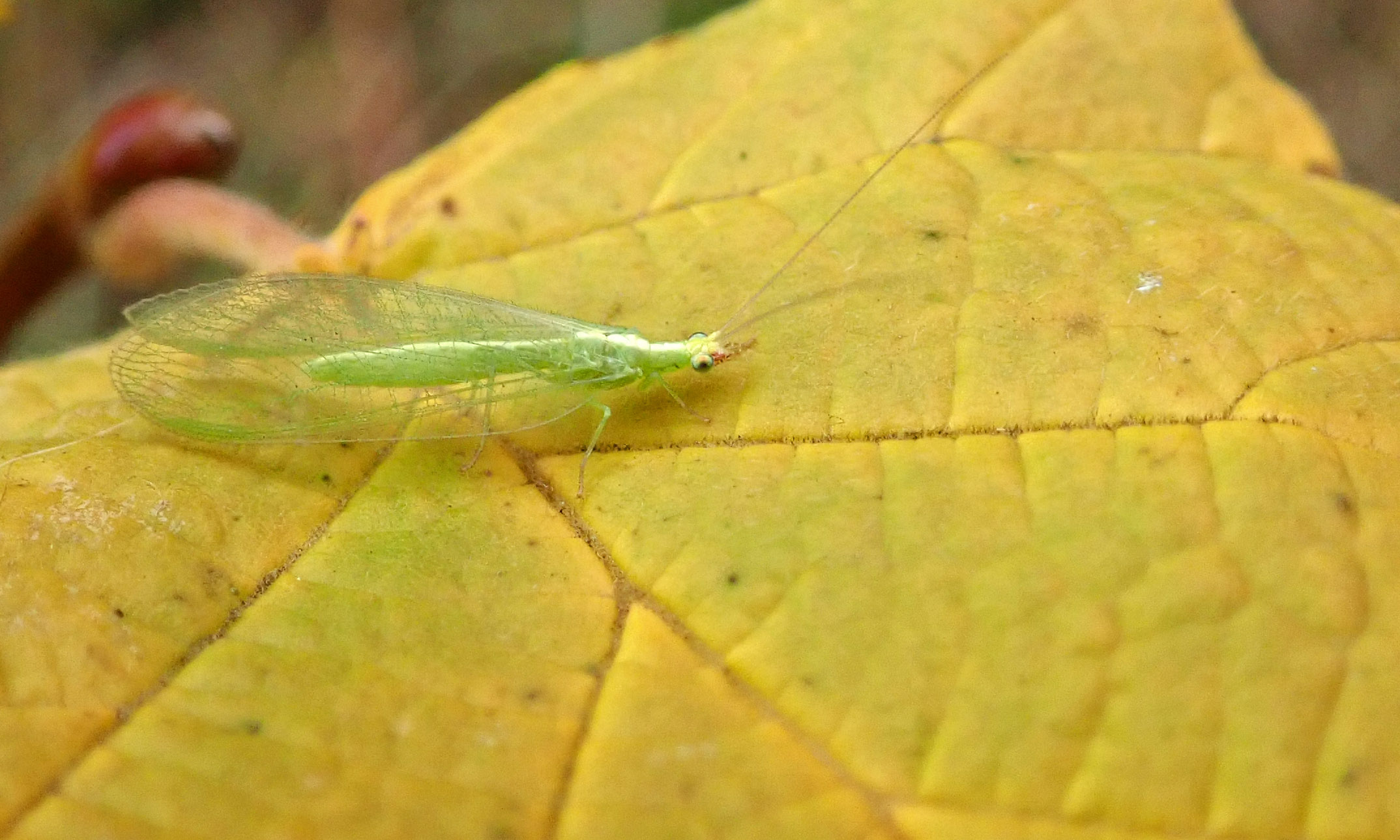 201114 lacewing