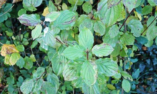 201117 Phytomyza agromyzina (1)