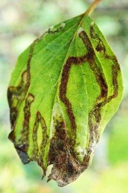 201117 Phytomyza agromyzina (2)
