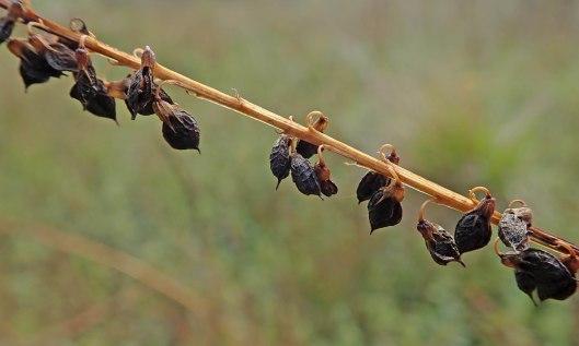 201118 seedheads (3)