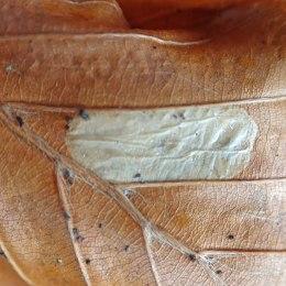201121 Phyllonorycter messaniella (2)