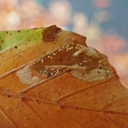 201121 Phyllonorycter messaniella (3)