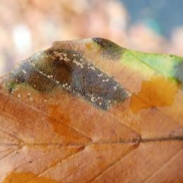 201121 Phyllonorycter messaniella (4)