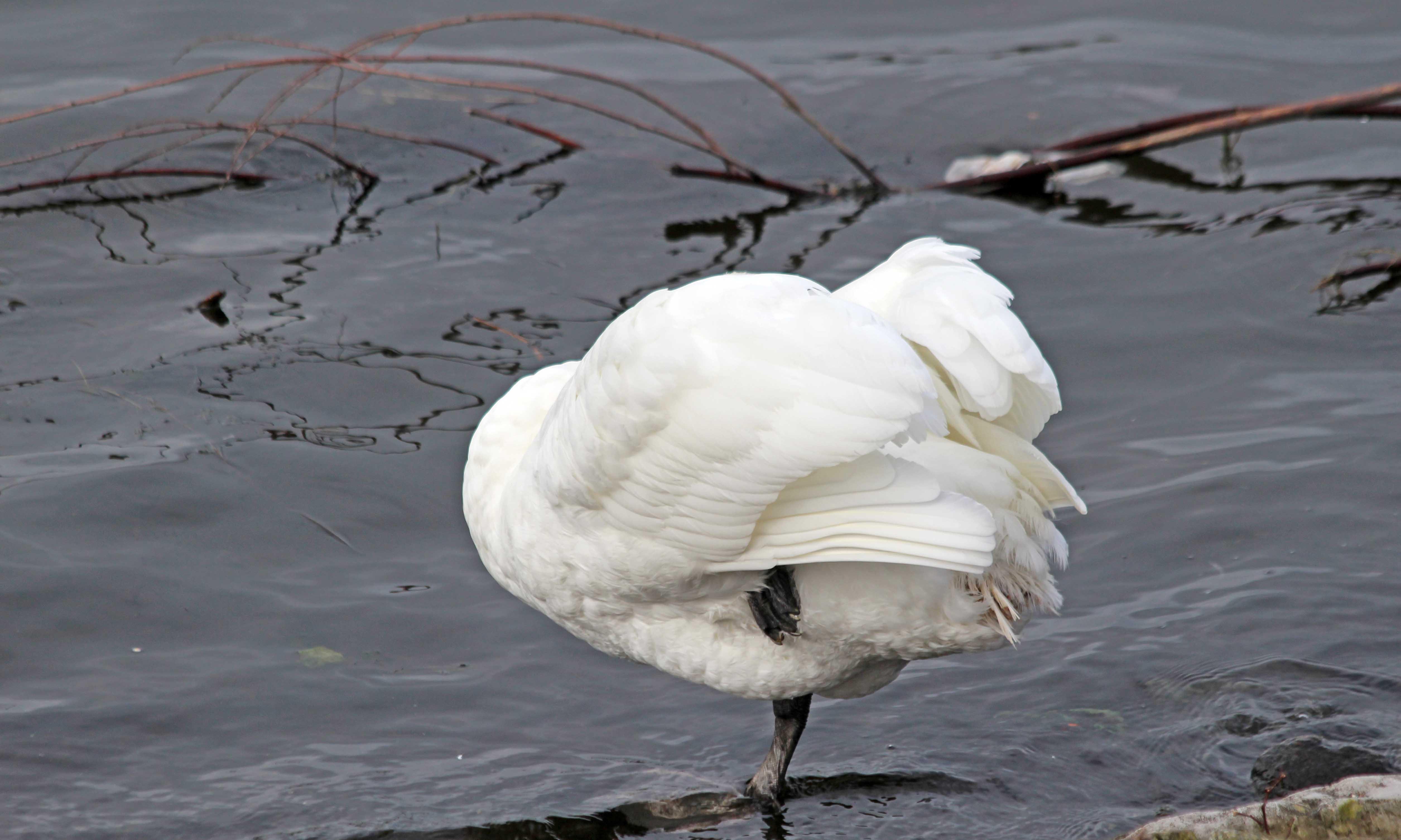 201125 6 mute swan