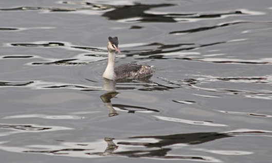 201125 7 great crested grebe