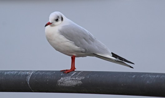 201125 9 black-headed gull
