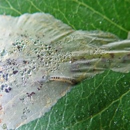 201126 phyllonorycter leucographella (5)