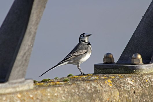 201201 pied wagtail (1)