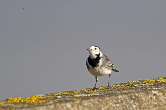 201201 pied wagtail (2)