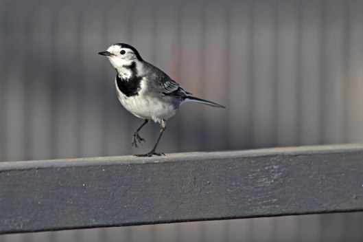 201201 pied wagtail (3)