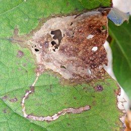 201203 acidia cognata (5)