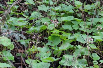201203 acidia cognata (6)