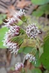 201203 acidia cognata (7)