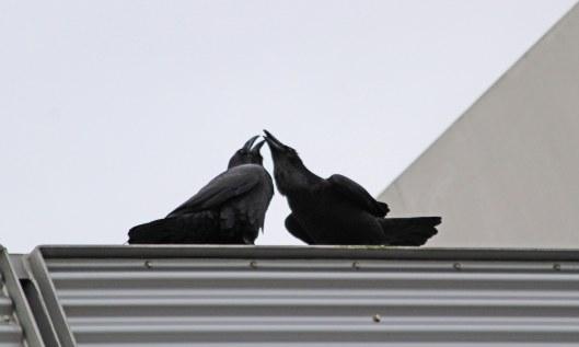 201205 raven courtship (1)