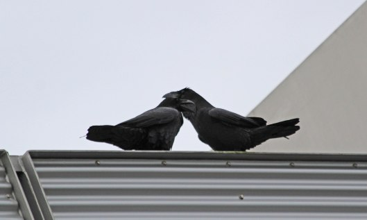 201205 raven courtship (2)