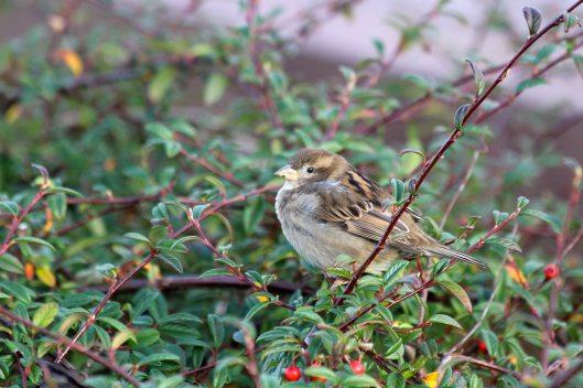 201212 house sparrow