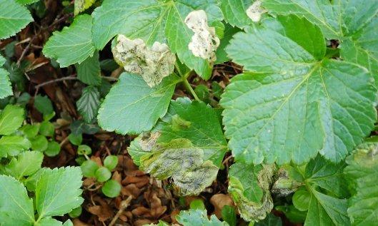 201221 Euleia heraclei (1)