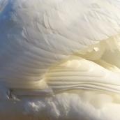 201224 7 mute swan