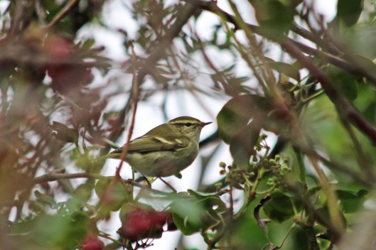 201227 yellow-browed warbler