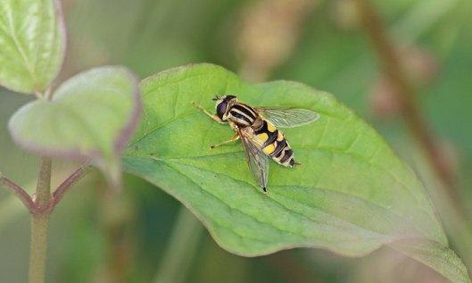 201230 helophilus trivittatus