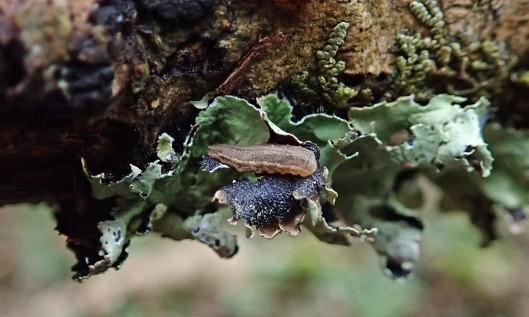 201230 hoverfly larva
