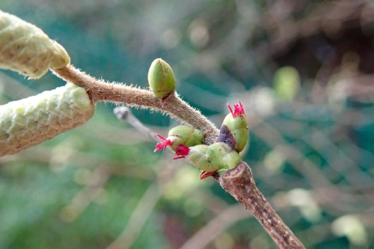 210101 hazel flowers (1)